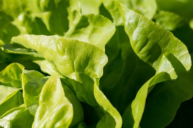 lettuce, easiest vegetables for beginner gardeners to grow